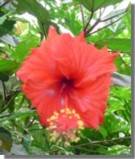 Hibiscus. Published on 4th June, 2004. By M.Al-Zahra B.Ed
